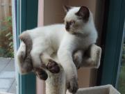1Bkh Kitten mit