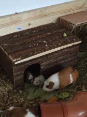 2 Meerschweinchen Babys