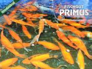 4 Laichgoldfische - Größe