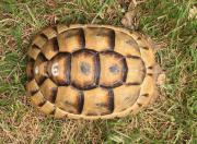 5 Maurische Landschildkröten