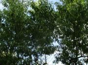 5 St Pfirsichbaumpflanze ca 55