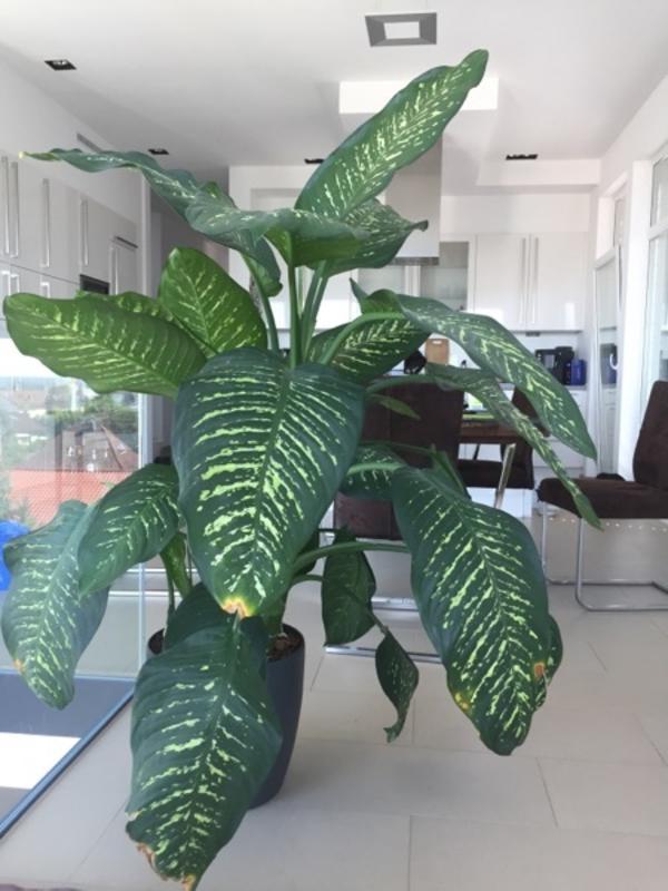 ableger dieffenbachia in hirschberg pflanzen kaufen und verkaufen ber private kleinanzeigen. Black Bedroom Furniture Sets. Home Design Ideas