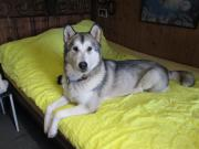 Alaskan Malamute Junghunde /