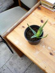 Aloevera Pflanze aus