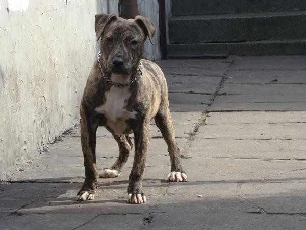 amstaff Hund 6 Monate Rasse - Pl-63900 Rawicz - Sonstige HundejungIch spreche kein Deutsch, Kontakt-E-Mail oder SMS. - Pl-63900 Rawicz