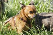 Babsi, zurückhaltende Chihuahua
