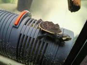 Babys Rotbauchspitzkopfschildkröten Wasserschildkröten