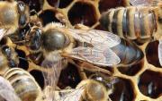 begattete Bienenköniginnen Juli