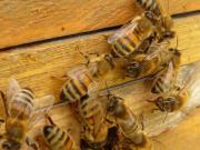 Bienenvölker Ableger