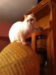 BKH Katze in