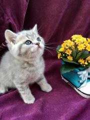 BKH Kitten mit