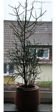 euphorbia tirucalli pflanzen garten g nstige. Black Bedroom Furniture Sets. Home Design Ideas