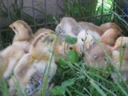 Brahmas Hühner Küken