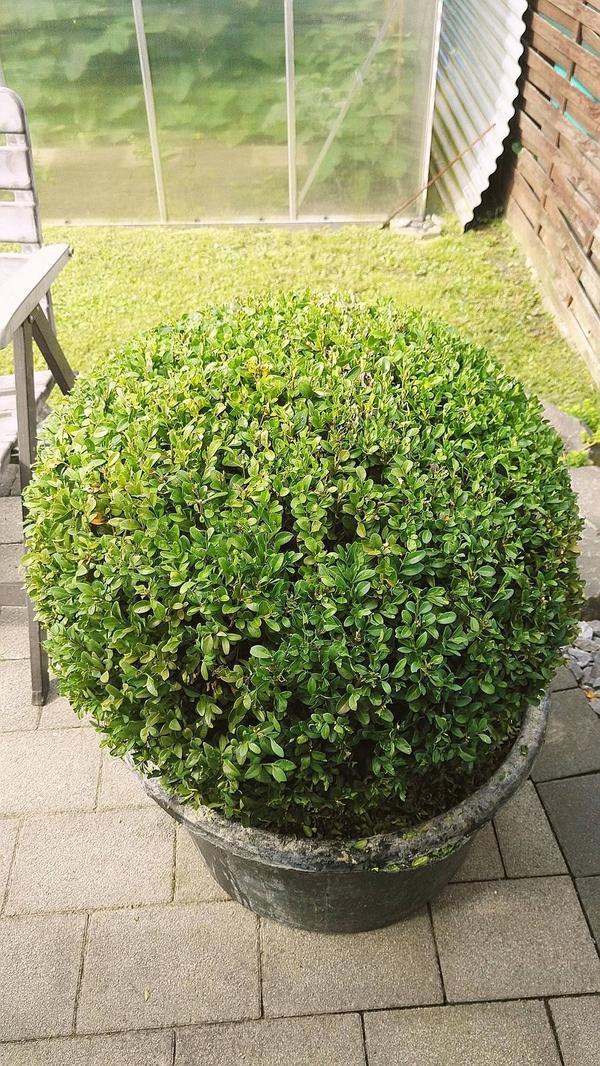 buchsbaum k nstlich gebraucht kaufen nur 4 st bis 70 g nstiger. Black Bedroom Furniture Sets. Home Design Ideas