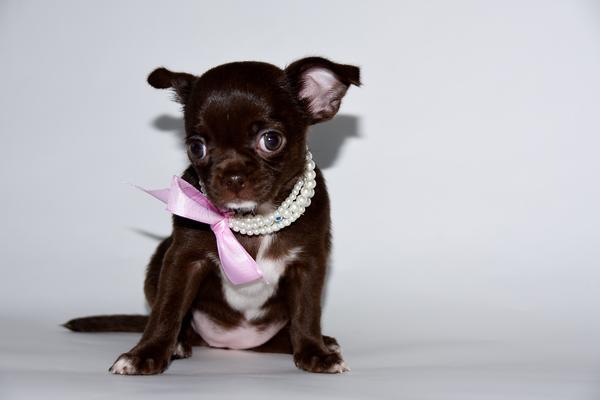 Chihuahua Babys mit » Hunde