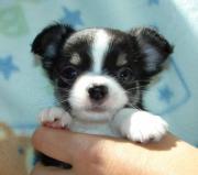 Chihuahua dringend gesucht!