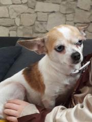 Chihuahua Lady 3