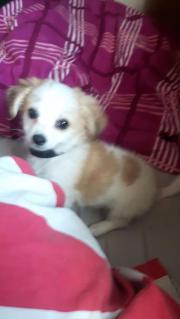 Chihuahua mit Pekinese