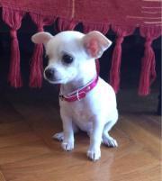 Chihuahua Welpe 8