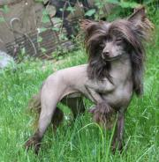 Chinese crested Schoko