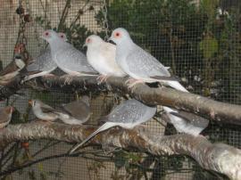 Vögel - Diamanttauben kleine Ziertauben Vögel Tauben