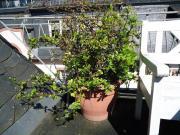 Dornen Busch Pflanze