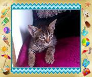 Edel Mix Kitten