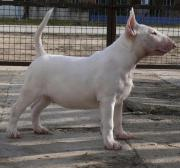 English Bullterrier Welpe