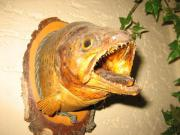 Fischpräparat nur der Kopf