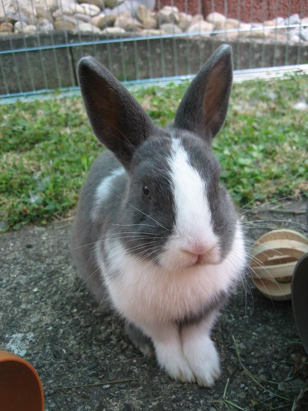 grau wei es kaninchen mit blauen augen weibl 3 monate zu verkaufen in konken kleintiere. Black Bedroom Furniture Sets. Home Design Ideas