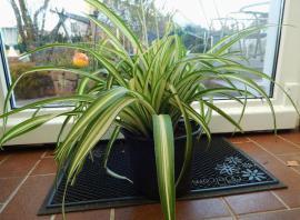Pflanzen - große Grünlilie im Pflanzcontainer - sowie