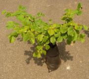 Haselnuss, Haselnussbusch, Haselnussbaum