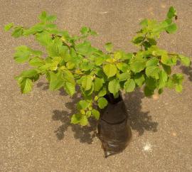 Pflanzen - Haselnuss Haselnussbusch Haselnussbaum
