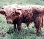 Highland Cattle, 02608-