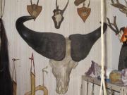 Kaffernbüffel-kopf