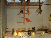 Kanarienvögel ,Männlich+ Weiblich