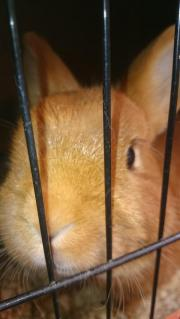 Kaninchen Kastrat kastriert