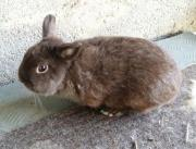 Kaninchen Zwergkaninchen Farbenzwerge