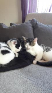 sonstige katzen katzen kaufen verkaufen auf. Black Bedroom Furniture Sets. Home Design Ideas