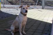 Labrador Mix Hündin,