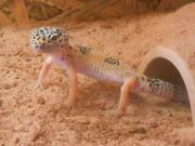 Männlicher Leopardgecko abzugeben