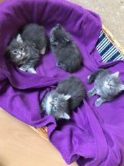 Main coon Katzen