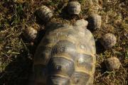 Maurische Landschildkröten, (Testudo