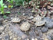 Mehrere maurische Landschildkröten