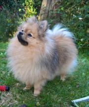 Mini Pomeranian typ