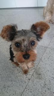 Miniyorkshire Terrier
