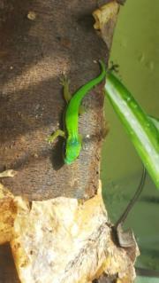 Phelsuma nigristriata zu