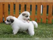 Pyrenäenberghund Welpen geboren