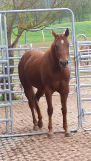 Quarterhorse Stute