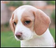 Reinrassige Beaglewelpen * Beagle